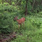 Middlesex Fells Deer in Medford